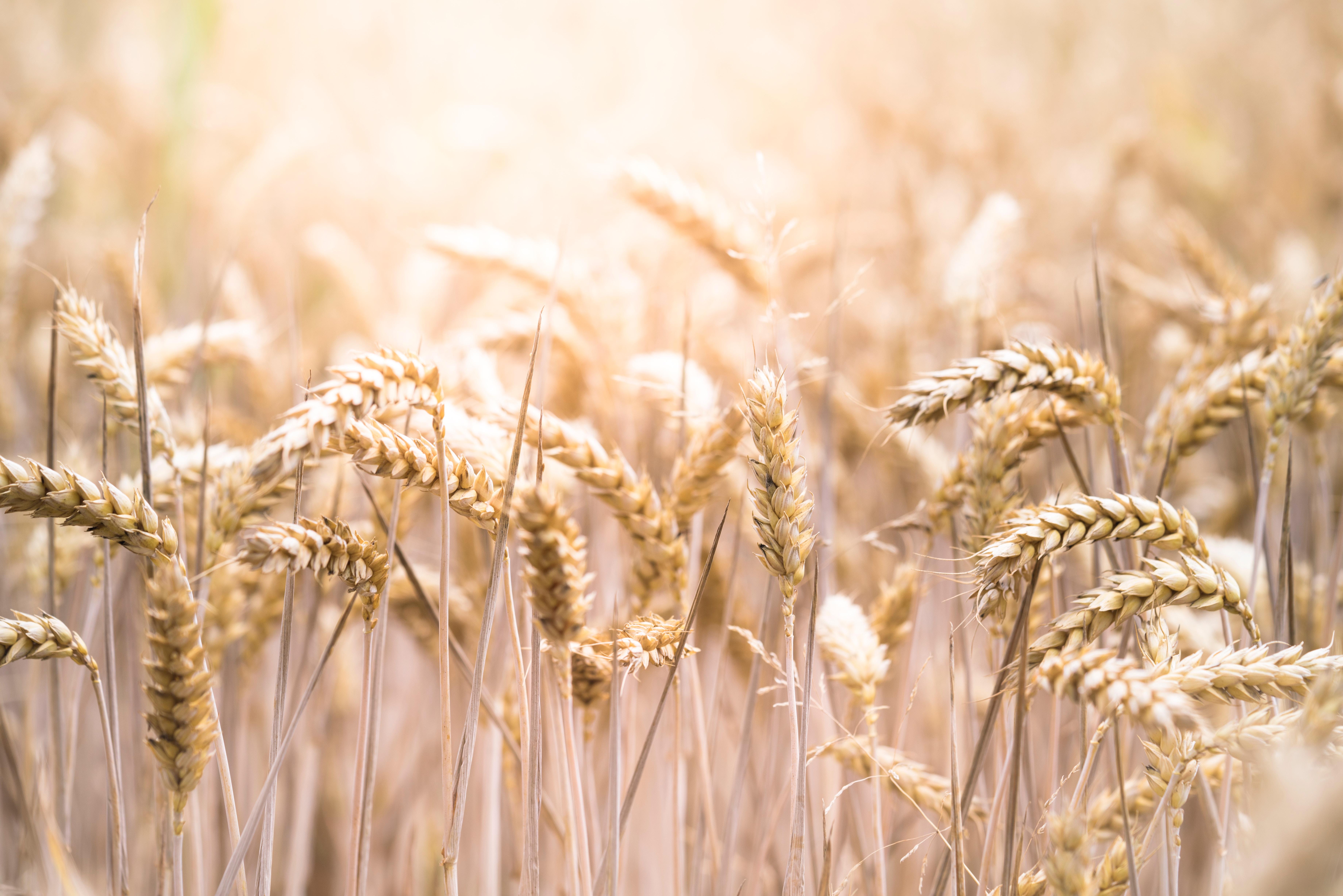 Les bas niveaux de rendement du blé observés en 2016 seront-ils plus fréquents dans les années à venir ?